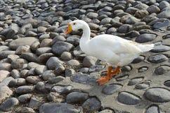 Wild greylag goose Royalty Free Stock Photo