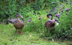 Wild duck pair. Mallard swimming in a lake Stock Images