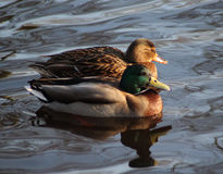 Wild duck pair Stock Photo
