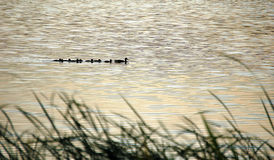 Wild duck paradise. A wild duck mother leading her children home, shot at Kunming lake, Summer palace,Beijing Royalty Free Stock Photo