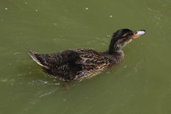 Wild duck (platyrhynchos), also known as the mallard. Wild life animal Royalty Free Stock Photography