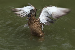 Wild duck (platyrhynchos), also known as the mallard. Royalty Free Stock Image