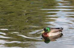 Wild Duck on Pond Stock Photos