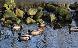 Wild duck pond Stock Photos