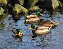 Wild duck pond Stock Images