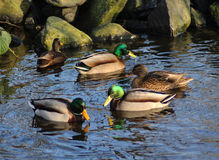 Wild duck pond Stock Image