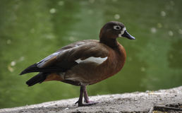 Wild duck on a pond Royalty Free Stock Photo
