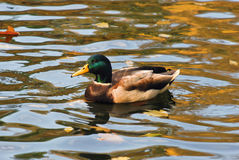 Wild duck on a pond Stock Images
