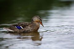 Wild duck in pond Royalty Free Stock Photo
