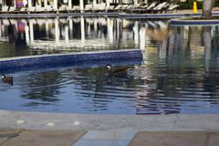 Wild ducks at the pool in the Dominican Republic stock photos
