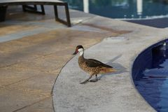 Wild ducks at the pool in the Dominican Republic royalty free stock photography