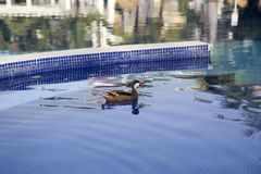 Wild ducks at the pool in the Dominican Republic royalty free stock image