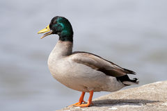 Wild duck portrait Stock Photo