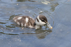 Wild Duck puppy newborn Royalty Free Stock Photography