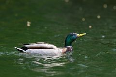 Wild duck raising its head from water Stock Photography