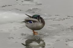 A wild duck, with red paws, standing on an ice floe. The duck cleans the feathers. Royalty Free Stock Photo