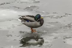 A wild duck , with red paws , standing on an ice floe. Stock Photography
