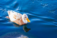 Wild Duck and Reflection Royalty Free Stock Photo