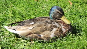 Wild duck relax on green grass. Male wild duck relaxing on green grases freedom in summertime .Germany Royalty Free Stock Photo
