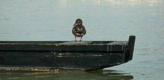 Wild duck rest on the boat Royalty Free Stock Photos