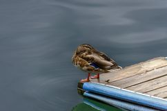 Wild duck at rest. Wild duck with head in the plumage staying at the edge of a jetty above dark water Royalty Free Stock Photos