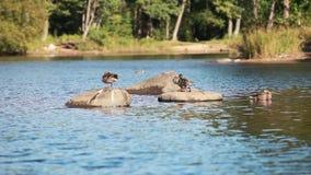 Wild duck resting stock footage
