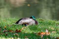 Wild duck resting in the green grass on the lake shore Stock Images