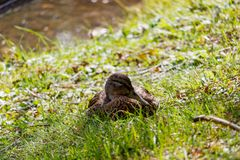 Wild duck resting in the green grass on the lake shore Royalty Free Stock Image