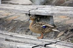 Wild duck resting on a piece of wood. Beautiful female wild duck resting on a piece of wood Stock Photography