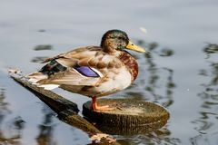Wild duck resting on a stump in a city pond Stock Photo