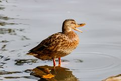 Wild duck resting on a stump in a city pond Royalty Free Stock Images