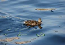 Wild duck in  river Stock Photos