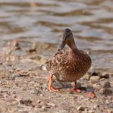Wild duck on the river bank. The wild duck goes on the river bank at water in the summer Royalty Free Stock Image