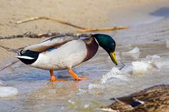 Wild duck on the river bank with ice Royalty Free Stock Photos