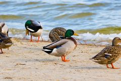 Wild duck on the river bank with ice Stock Photography