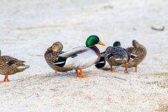 Wild duck on the river bank with ice Stock Photos