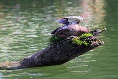 Wild duck Royalty Free Stock Photo