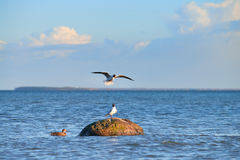 Wild duck and seagulls around the stone in Baltic sea Stock Image