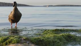 Wild duck on the seaside stock video footage