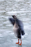 A wild duck flapping wings. Royalty Free Stock Images