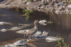 Wild Duck in the Serengeti Stock Images