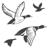 Wild duck. Set of flying wild ducks. Duck hunting. mallard duck flying. Vector illustration vector illustration