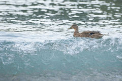 Wild duck on the shore Royalty Free Stock Photos