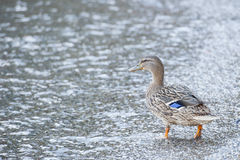 Wild duck on the shore Stock Photography