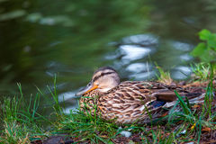 Wild duck sits in grass on the river. The wild duck sits in a green grass on the river bank and looks in a shot Royalty Free Stock Photo