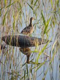 Wild Duck Sits On A Stone Royalty Free Stock Photos