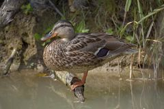 The wild duck sits on the root of the tree on the pond. The wild duck sits on the root of the tree on the pond Royalty Free Stock Photos