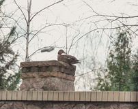Wild duck sits on stone column. Wild duck mallard sits on a brick column in the spring afternoon stock photography