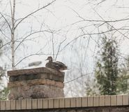 Wild duck sits on stone column. Wild duck mallard sits on a brick column in the spring afternoon royalty free stock photo