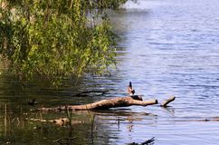 A wild duck is sitting on a branch by lake. Nice colors and blur. A wild duck is sitting on a branch by the lake. Nice colors and blur Stock Images